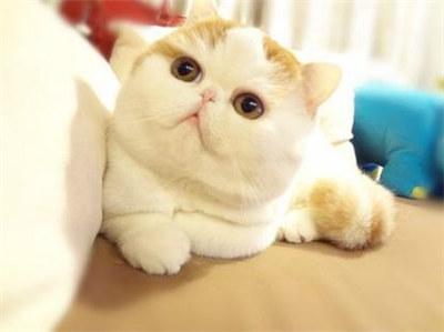 加菲猫几个月可以交配?如何看母加菲猫交配是否成功?